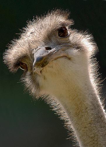Emu_huh